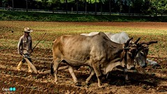 Farmer in Cuba (capellini.chiara) Tags: flickrtravelaward natura nature cuba buoi contadino farmer