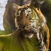096 Königstiger - Bengal Tiger - Panthera tigris tigris (uwizisk) Tags: bengaltiger india indien indischertiger königstiger pantheratigristigris rajasthan ranthambhorenationalpark royalbengaltiger