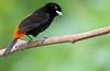 Passerini's Tanager (Ramphocelus passerinii) (Adam Dhalla) Tags: ramphocelus passerinii sendero bogarin alajuela costa rica cr bird passerinis wild la fortuna arenal sloth tanager