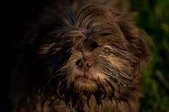 Dog-0936 (EB_Creation) Tags: dog d7100 digital camera lens shihtzucentral shihtzu puppy