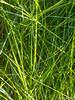 Saltmeadow Cordgrass (Spartina patens) (Valter Jacinto | Portugal) Tags: europe portugal algarve faro praiadefaro riaformosa plantae magnoliophyta magnoliopsida poales poaceae spartina spartinapatens gramínea saltmeadowcordgrass folhas leaves nature naturephotography plantas plants flora taxonomy:binomial=spartinapatens taxonomy:genus=spartina taxonomy:family=poaceae taxonomy:order=poales taxonomy:class=magnoliopsida taxonomy:phylum=magnoliophyta taxonomy:kingdom=plantae geo:region=europe geo:country=portugal omd olympusomd em5 olympusem5 olympusmzuikodigitaled60mmf28macro m43 microfourthirds prnpppriaformosa