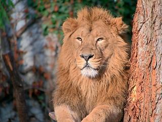 Löwen der Wilhelma