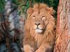 Löwen der Wilhelma (to.wi) Tags: löwe towi wilhelma raubkatze katze könig lion king