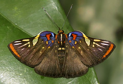 Symmachia accusatrix (hippobosca) Tags: butterfly lepidoptera peru macro riodinidae metalmark symmachiaaccusatrix