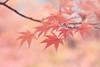 Autumn dream (Janette Paltian) Tags: janettepaltian canon 650d 100d makro macro autumn herbst rosa rose apricot pink ahorn maple dreamy verträumt soft softcolour pastell nature natur bokeh