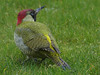 Green Woodpecker (ukstormchaser (A.k.a The Bug Whisperer)) Tags: green woodpecker woodpeckers uk bird birds animal animals wildlife milton keynes buckinghamshire garden lawn grass afternoon february