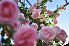 Rose 'Pierre de Ronsard' raised in France (naruo0720) Tags: rose frenchrose pierrederonsard frenchrosescollection バラ フランスのバラ ピエール・ド・ロンサール フランスのバラコレクション nikonslense d810 tamron35mmf18 sp35mmf18divcusd f012