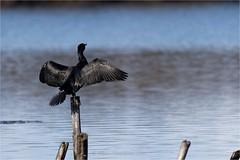 Grand Cormoran - Phalacrocorax carbo - Great Cormorant (ChantCarr) Tags: leteich wwwchantcarrcom wwwchantcarrwordpresscom wildlife libreetsauvage nikon200500 nikond750