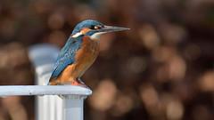 Kingfisher (Full Moon Images) Tags: wildlife nature bird kingfisher