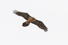 Quebrantahuesos (coverkill) Tags: aves navarra naturaleza