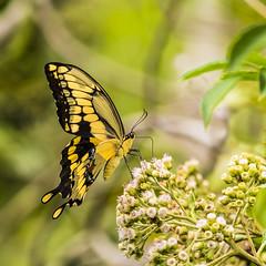 Giant Swallowtail (JesseG8r) Tags: fernforestnaturecenter fernforest giantswallowtail swallowtail challengeyouwinner cyunanimous matchpointwinner mpt624 gamex2