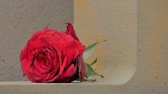 Souvenir flou (blogspfastatt (+4.000.000 views)) Tags: blogspfastatt rose rouge red colour kolor color fleur flower
