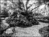 Fern Grotto in Monochrome (Chris C. Crowley) Tags: ferngrottoinmonochrome sugarmillgardens portorangeflorida monochrome blackandwhite scenic paths trees ferns bench nature outdoors