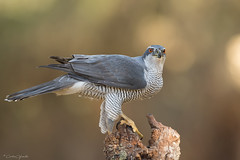 AZOR (Carlos Cifuentes) Tags: azor azorcomún accipitergentilis northerngoshawk carloscifuentes wildlife wildlifenature nature bird birds