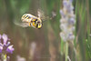 Anthidium florentinum (Red Gecko Photography) Tags: bee flight lavender andalucia spain nature flying