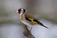 goldfinch (2) (colin 1957) Tags: goldfinch finches