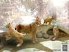 │T│L│C│ Eurasian Lynx (- TRUE & LAUTLOS CREATIONS -) Tags: tlc home collection mesh animated animal store secondlife sl lynx bobcat luchs