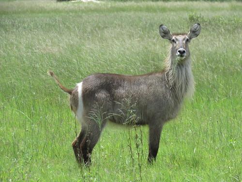 Antelope - Hwange - Zimbabwe 2018