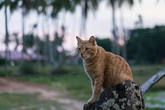 20171214-DSC02723.jpg (CBsoundso) Tags: sitting kedah asia solunaguesthouse pantaicenang cat sony throne animal malaysia carlo southeastasia sunset nature sonyphotography sonyalpha sonyarii langkawi