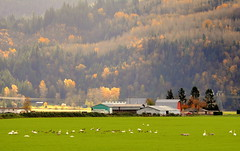 THE TRUMPETER SWANS ARE BACK FOR THE WINTER.  FRASER VALLEY,  BC (vermillion$baby) Tags: chilliwackarea fraservalley hopearea trumpeterswans barn chilliwack cloud farm grass green landscape mountain winter color autumn trees tree