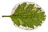 Teenage Nightmare (Pixelated Sky) Tags: speckled plant variegated macro pittosporum leaf closeup green magenta veins cream macromondays