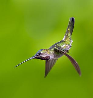 Long-billed Starthroat in flight - (Heliomaster longirostris)