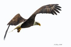 IMG_7786 american bald eagle (starc283) Tags: starc283 wildlife eagle canon canon7d flickr flicker bird birding birds raptor baldeagle americanbaldeagle outdoors outdoor nature naturesfinest naturewatcher naturewatching fishing