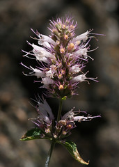 Horse Mint (philipbouchard) Tags: agastache horsemint agastacheurticifolia agastacheparvifolia hyssop nettleleaf gianthyssop lamiaceae flower wildflower white purple anthers california lassennationalforest shastacounty subwaycave lavatubes ca89