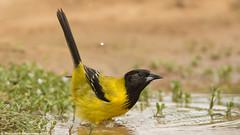 Audubon's Oriole (Raddykrish Photography) Tags: audubonsoriole orioles bird birdphotography photography texas 2017 lagunasecaranch nature naturephotography naturallight