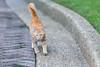 My Feline Fellow 貓科朋友 (Sharleen Chao) Tags: feline cat garden feralcat kitten 幼貓 貓科動物 台灣 台北 浪貓 橘貓 走路 wallking taiwan taipei 子猫 猫 ねこ 歩いている