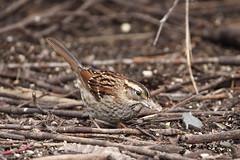 White-throated Sparrow (jlcummins - Washington State) Tags: yakima yakimaareaarboretum sparrowpatch whitethroatedsparrow washingtonstate canon tamronsp150600mmf563divcusd wildlife fauna sparrow bird