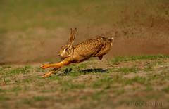 Wild Hare (Zahoor-Salmi) Tags: zahoorsalmi salmi wildlife pakistan wwf nature natural canon birds watch animals bbc flickr google discovery chanals tv lens camera 7d mark 2 beutty photo macro action walpapers bhalwal punjab