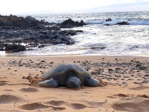 Sea Turtle resting on the sand.