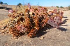 Cactus On The Cave Spring Trail (Joe Shlabotnik) Tags: nationalpark utah cactus 2017 pricklypear canyonlands november2017 canyonlandsnationalpark afsdxvrzoomnikkor18105mmf3556ged
