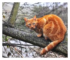Look into my eyes. (Graham Pym) Tags: orange fur eyes feline nikon whiskers climbing nature
