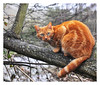 Look into my eyes. (Graham Pym) Tags: orange fur eyes feline nikon whiskers climbing nature