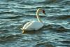 Those glory times (VilmaSaarinen) Tags: swan joutsen bird archipelago saaristo rymättylä suomi winter talvi meri sea