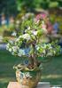 DSC09420 (Jethuynh | 0903689703) Tags: mai trang apricot white hoa xuan tao dan