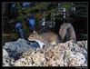 Eastern gray squirrel (Sciurus carolinensis) (cquintin) Tags: chordata vertebrata mammalia rodentia sciuridae sciurus carolinensis ecureuil squirrel