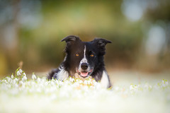 """7/52  ... """"I knows it doesn't smell the same but are you sure this isn't snow?"""" (JJFET) Tags: 7 52 weeks for dogs paddy border collie snowdrops flows sheepdog"""