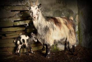 Dinorwig Welsh Mountain Goat kid