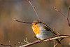 Rougegorge familier (Philippe Renauld) Tags: rougegorge familier robin european erithacus rubecula balma occitanie france fr