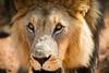 Namibia Naankuse Wildlife Sanctuary (Sas & Rikske) Tags: namibia naankuse wildlife sanctuary namibianaankusewildlifesanctuary lion windhoek namibië canon eos1d x canoneos1dx canon100400 eric bruyninckx riksketervuren namib animal animals safari africa afrika landscape green blauwevogelreizen 2017 thena'ankusêfoundation na'an ku sê foundation angelina jolie angelinajolie joliepittfoundation joliepitt brad pitt bradpitt naankusefoundation na'ankusê