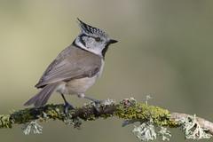 _SEN6899-E (Sento74) Tags: herrerillocapuchino lophophanescristatus aves birds fauna nikond500 tamron150600g2 fundaciónvictorialaporta ngc