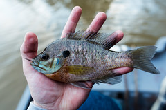 Bluegill on fly (Sam_pep) Tags: flyfishing nikon bluegill orvis bream fishing georgia atlanta bass rio