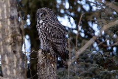 Great Grey Owl (tylerhuestis) Tags: owl birdofprey raptor alberta canada wildlife wilderness forrest ornithology tamron150600