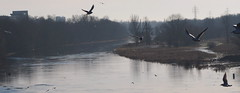Gulls twirling over Warta River (ewelina pstryka) Tags: gulls gull bird birds birdwatching river poland poznan warta frost winter cold morning morninglight animals trees grass water nature wings
