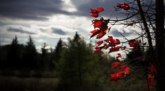 Red Leaves (Faron Dillon) Tags: red leaves color saturated sigma 85mm art clouds dark canon 5ds side nature blowing breeze sunset ontario richmond hill canada autumn fall tatered bokeh background focus tree trees cloudy day daytime