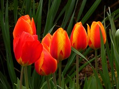 Ich freue mich auf den Frühling (dorisgoebel) Tags: frühling spring tulpen tulips blumen flowers rot red grün green gelb yellow