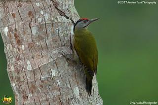 Grey Headed Woodpecker!!(_EJ1C2954)